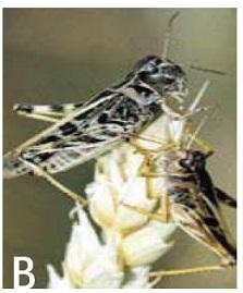 la sauterelle pellucide