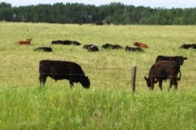 A field with grazing cows