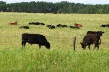 Un champ avec des vaches au pâturage