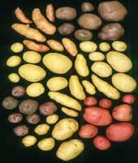 Différents variétés de pommes de terre