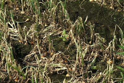 Severely damaged onion crop