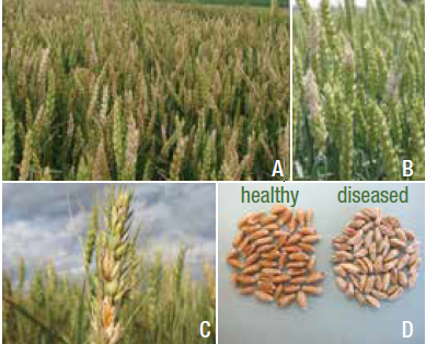 Photo montage showing infected wheat fields, clusters of diseased glumes, and a comparison of diseased seeds next to healthy seeds