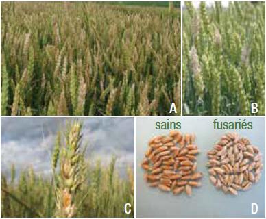 Photomontage présentant des champs de blé infectés, des grappes de glumes infectées et des grains infectés en comparaison avec des grains sains