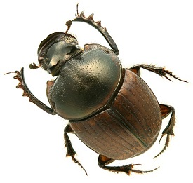 Digitonthophagus gazelle