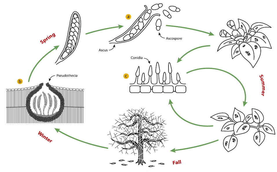 Description of the pathogen life cycle (including images a, b and c) precedes.