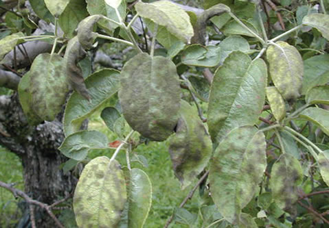 Leaves covered with secondary scab lesions.