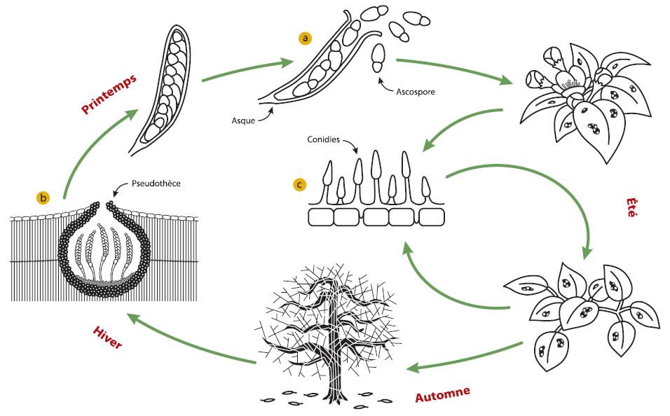 Cycle vital de l'agent pathogène (décrit ci-dessus)