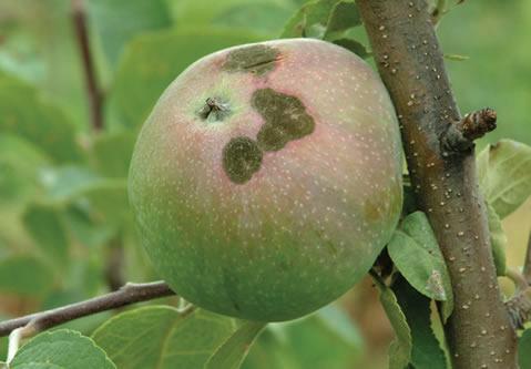 Des lesions sur une pomme.