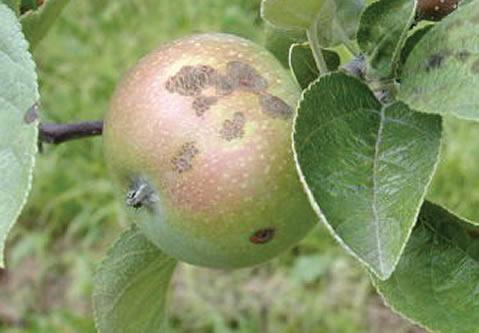De vieilles lésions crevassées sur une pomme.