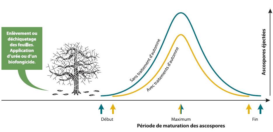 Les traitements d'automne comprennent l'enlèvement ou le déchiquetage des feuilles et l'application d'un biofongicide ou d'urée. Sans traitement d'automne la période de maturation des ascospores est plus longue et plus d'ascospores sont éjectées.