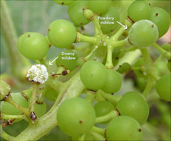 Berries with both downy and powdery mildew present. Downy mildew: white varieties acquire a mottled appearance. Powdery Mildew: white spore giving them a floury appearance.