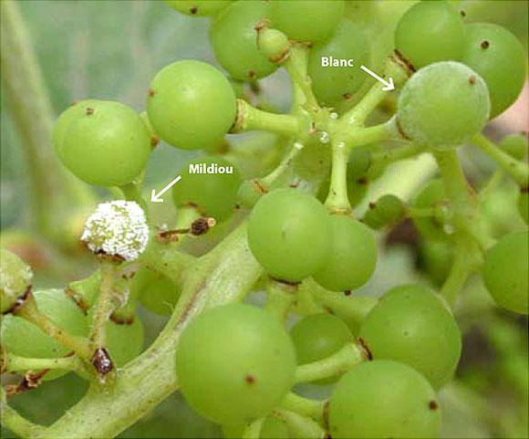 Raisins avec le mildiou et l'oïdium de la vigne présents. Mildiou : les variétés de raisins blancs présentent un aspect marbré. Oïdium de la vigne : des spores blanches leur donnent un aspect farineux.
