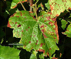 Downy mildew: yellow areas visible on the upper surface of the leaves. As lesions mature, they expand rapidly and turn brown