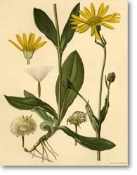 Arnica Species (Arnica)