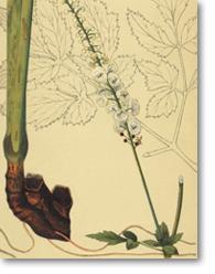 Cimicifuga racemosa (L.) Nutt. (Cimicaire à grappes)