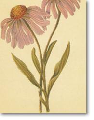 Echinacea pallida (Nutt.) Nutt. Var. angustifolia (DC.) Cronq. (Échinacée à feuilles étroites