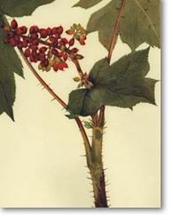 Oplopanax horridus (J.E. Smith Miq. (Bois piquant)