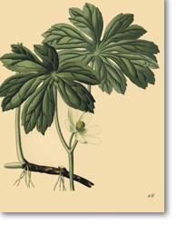 Podophyllum peltatum L. (Podophylle pelté)
