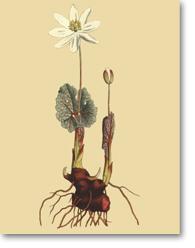 Sanguinaria Canadensis L. (Sanguinaire du Canada)