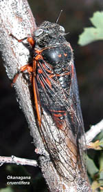 Whip Cicadas (Okanagana)- cruentifera (description)