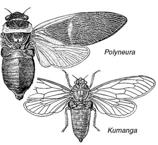 Illustration of a Polyneura cicada and a Kumanga cicada