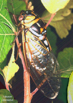Tibicen dorsatus - Cicada of the prairies