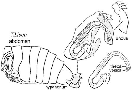 Drawing of the abdomen (tibicen) of the male cicada. The terminal segment is withdrawn partially into the preceding segment and includes these parts: hypandrium, uncus, theca and vesica.