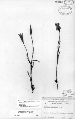 The Herbarium specimen of Victorin's Gentian which was collected around 1820