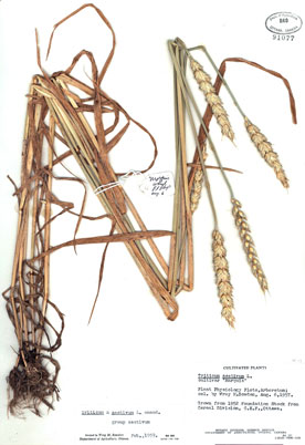 A Herbarium specimen of Marquis wheat including a label indicating name of plant, locality of origin, habitat, date collected, collector(s)