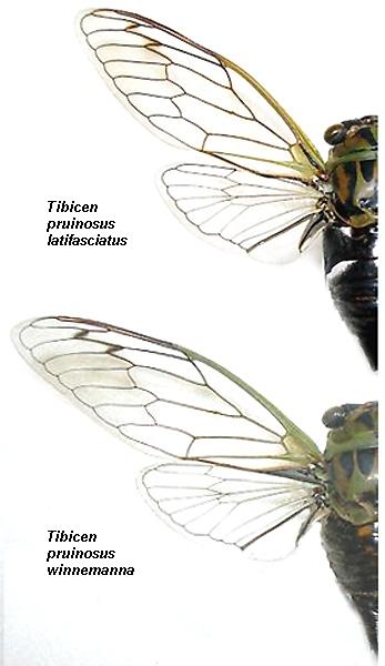 Tibicen pruinosus latifasciata has more contrasting white patches at base of abdomen on upper side than Tibicen pruinosus winnemanna.