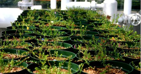 Several greenhouse-grown cranberry plants in pots lined up beside each other