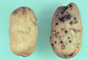 Photo of two potatoes, one healthy, one damaged with black holes.