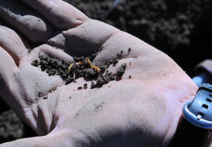 Close-up of a man's hand holding a single wireworm in some dirt.