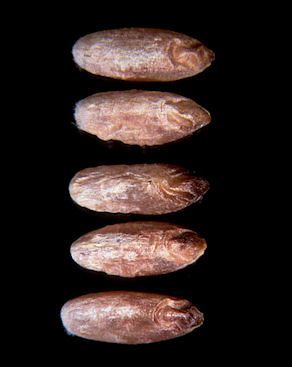 Five wheat kernels with red smudge infection.