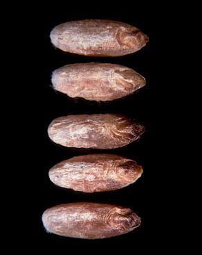 Cinq grains de blé infectés par le carie rouge.