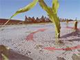 La culture du maïs en climat froid avec une pellicule de plastique biodégradable