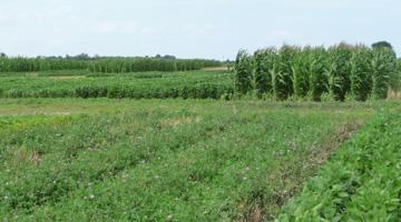 Du trèfle rouge est utilisé comme culture de couverture dans un champ après la récolte de blé d'hiver