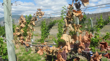 the vine was damaged in winter, but was healthy enough to produce fruit in the spring