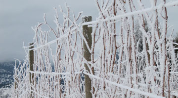 management of vineyards against periods of extreme cold
