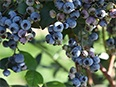 Cultivated blueberries