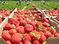 Boîtes de fraises fraîchement cueillies devant une fraisière