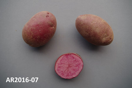 Potato: AR2016-07 (F10095). Description of this image follows.