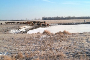 Cows with direct access to water