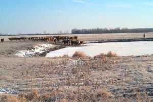 Les vaches avec un accès direct à l'eau