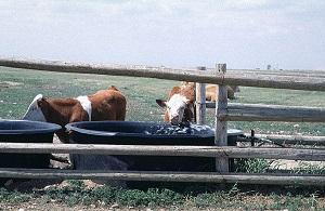 Bovins buvant à des bassins d'eau derrière des clôtures.
