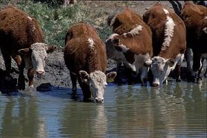 Cows drinking directly from a water source